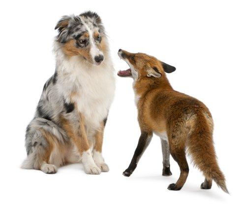 Ảnh chụp chú Cáo đỏ Vulpes vulpes 4 tuổi, chơi với chú chó Úc trước mặt nền trắng