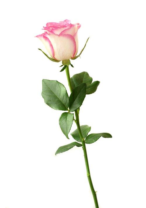 Ảnh chụp hoa hồng trắng trên nền màu trắng