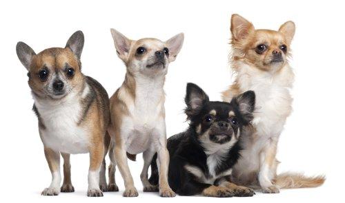 Hình ảnh chú chó Chihuahua, 6 tháng tuổi, 3 tuổi, và 2 tuổi, trước mặt nền trắng