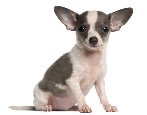 Hình ảnh chó con Chihuahua, 3 tháng tuổi, ngồi trước mặt trắng
