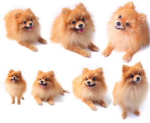 Ảnh chụp bảy con chó pomeranian bị cô lập trên nền màu trắng