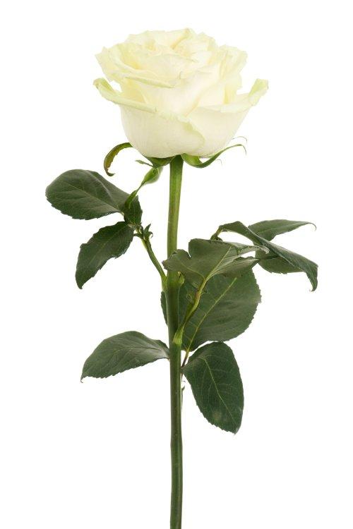 Hình ảnh hoa hồng màu trắng trên nền trắng