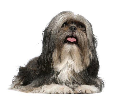 Ảnh chụp chú chó Shih Tzu, 5 tuổi, nằm trước mặt nền trắng