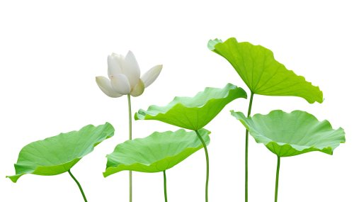 Ảnh chụp Hoa sen và lá bị cô lập trên màu trắng