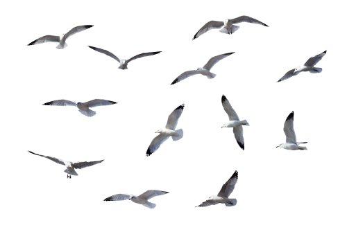 Ảnh chim Flying Gulls được cô lập trên nền trắng