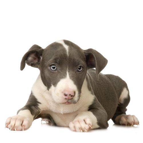 Hình ảnh con chó Puppy nằm trên nền trắng