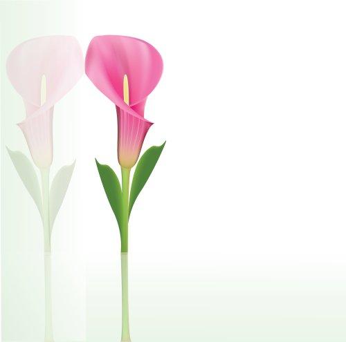 Vector hoa lily calla màu hồng