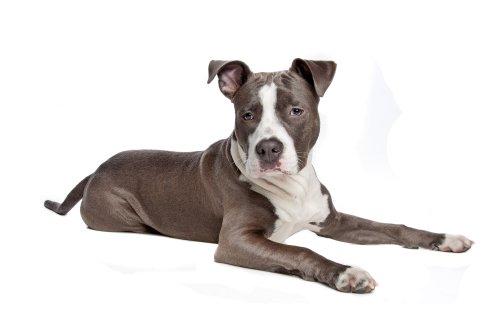 Ảnh chụp chân dung chú chó Staffordshire Terrier của Mỹ