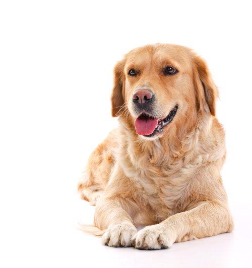 Ảnh chụp con chó vàng nằm trên nền trắng