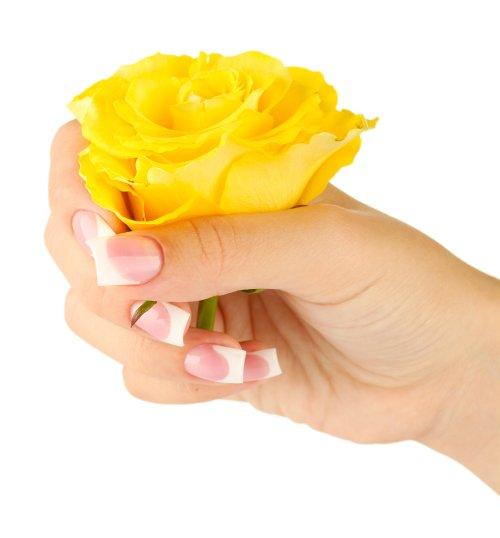 Ảnh chụp Hoa hồng vàng với bàn tay của người phụ nữ trên nền trắng