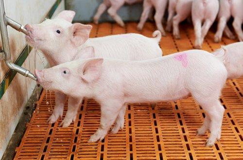 Ảnh chụp heo con ở trang trại lợn