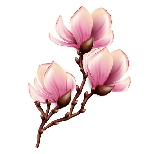 Vector nhánh hoa Chi Mộc Lan cô lập trên nền trắng
