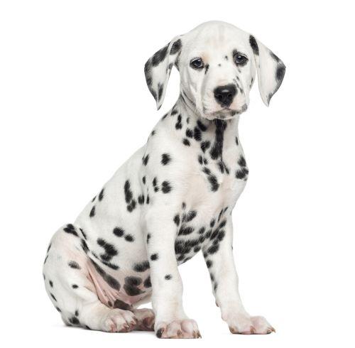 Ảnh chụp mặt bên của chú chó Dalmatian ngồi, nhìn vào máy ảnh