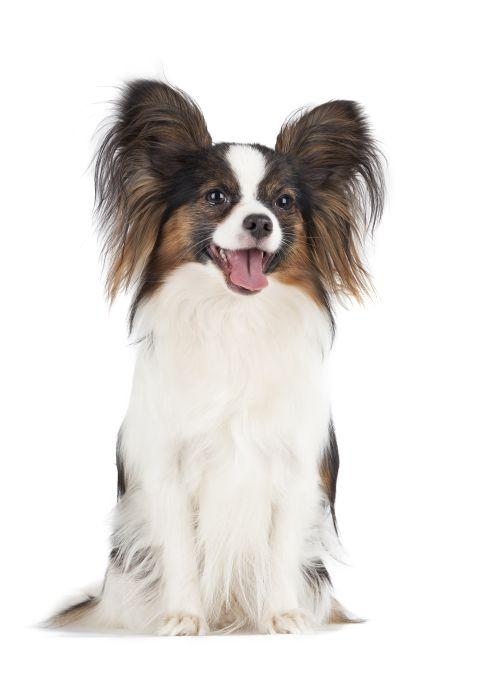 Hình ảnh về chú chó Papillon trên nền trắng