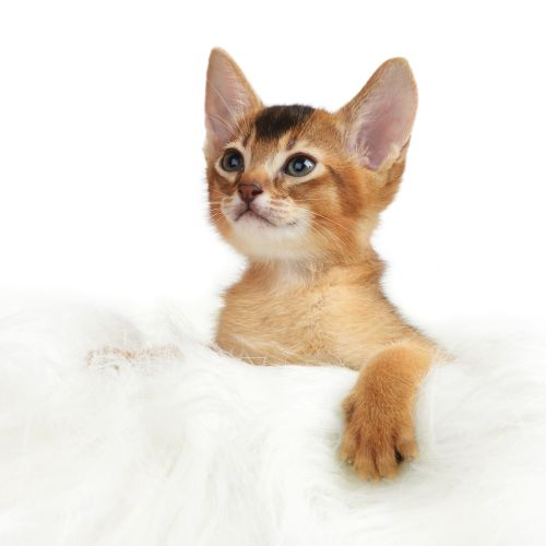 Ảnh chụp Con mèo abyssinian thuần chủng trên nền trắng