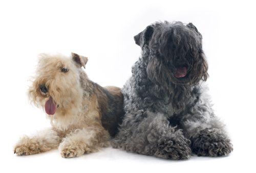 Ảnh chụp chó kerry terrier xanh và Chó sục Lakeland ở phía trước của nền trắng