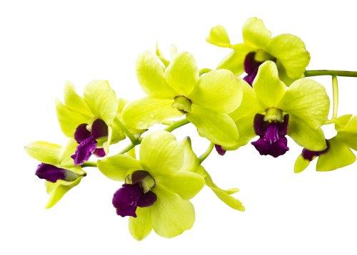 Ảnh chụp Hoa lan xanh được tách ra trên nền trắng