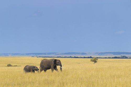 Ảnh minh họa con voi châu Á và voi con trên đồng cỏ