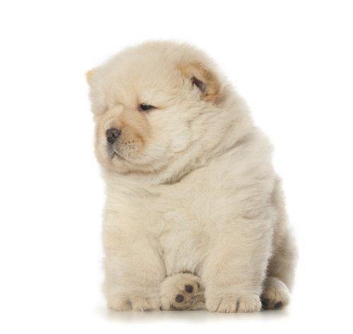 Hình ảnh chó con chow chow lông mịn trên nền trắng