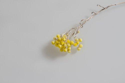Ảnh một bông hoa khô màu vàng trên nền trung lập