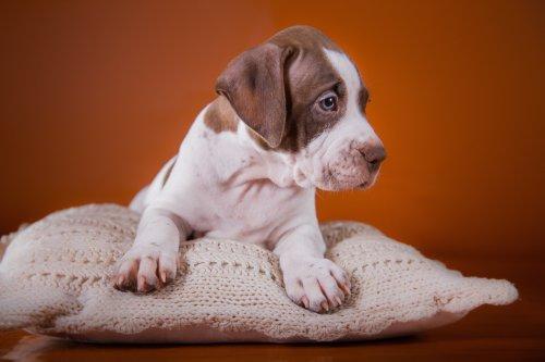 Hình ảnh con chó Pit Bull Terrier dễ thương của Mỹ