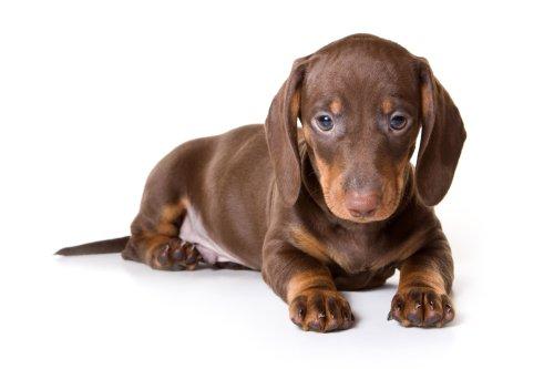 Hình ảnh chú chó Dachshund trên nền trắng