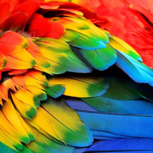 Ảnh chụp màu đỏ vàng và màu xanh của lông chim vẹt hồng
