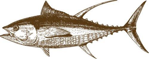Vector vẽ tay Cá Thu