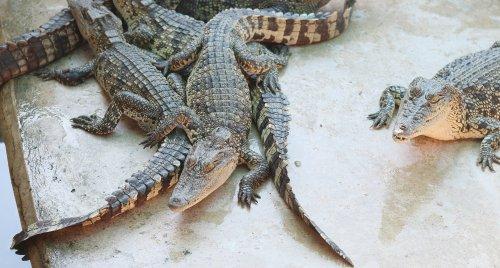 Ảnh cá sấu nghỉ ngơi tại trang trại ở Thái Lan