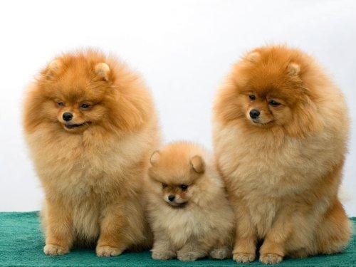 Hình ảnh ba con chó pomeranian