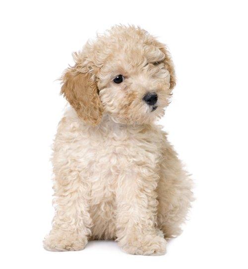 Hình ảnh chú chó Poodle puppy  9 tuần tuổi trên nền trắng