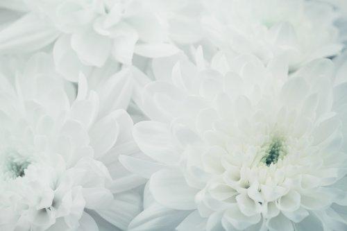 Ảnh hoa cúc cho nền, hoa kết cấu đẹp, màu trắng, vĩ mô