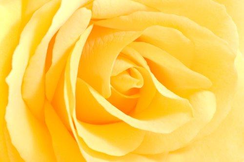 Hình ảnh Hoa hồng vàng nhìn cận cảnh - hình ảnh ngang