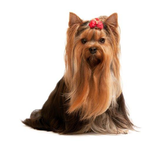 Hình ảnh Một bức chân dung của một chú chó  Yorkshire Terrier đang ngồi;