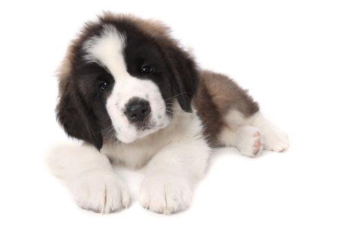 Hình ảnh chó Puppy đáng yêu nằm trên nền trắng