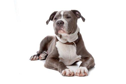 Hình ảnh chó Staffordshire Bull Terrier Mỹ nằm trên nền trắng
