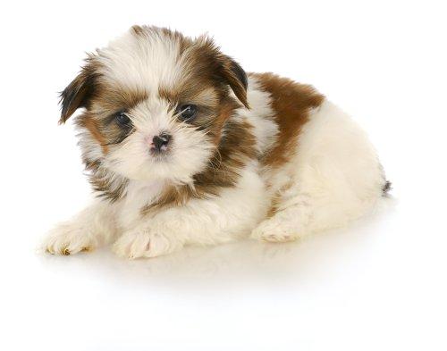 Hình ảnh chó puppy nằm xuống trên nền trắng - 6 tuần tuổi