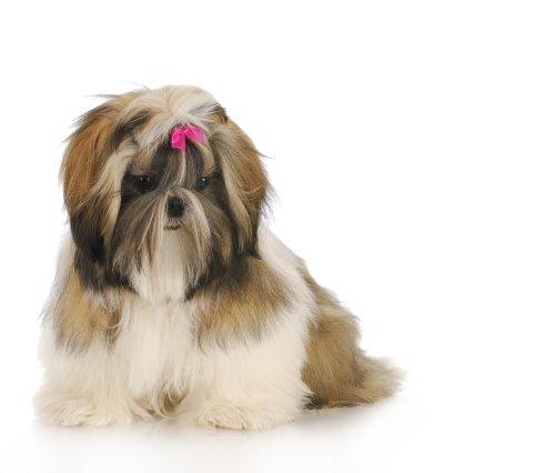 Hình ảnh chó puppy ngồi với  trên nền trắng