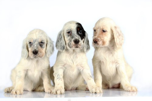 Hình ảnh Ba chú chó Setter Anh Quốc ngồi trên nền trắng.