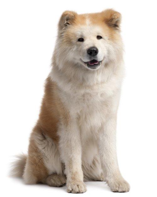 Ảnh chụp về chú chó Akita Inu, 4 tuổi, ngồi trước mặt trắng