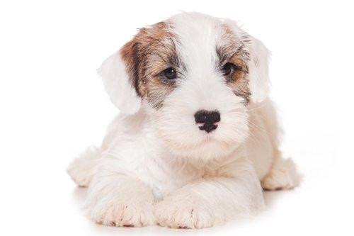 Hình ảnh chú chó Sealyham Terrier tách biệt trên màu trắng