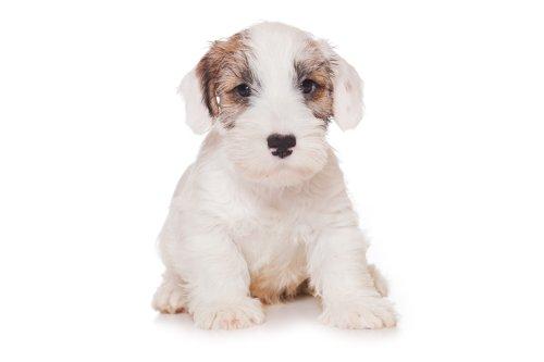 Hình ảnh chú chó Sealyham Terrier tách biệt trên nền trắng