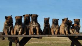 10 chú chó chăn cừucủa nước Bỉ đang ngồi trên ghế