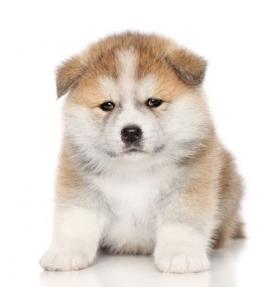 Ảnh chụp chân dung chú chó con Akita-inu trên nền trắng