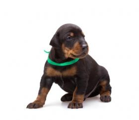 Ảnh chụp chú Chó Doberman đeo vòng cổ màu xanh lá cây, cô lập trên nền trắng