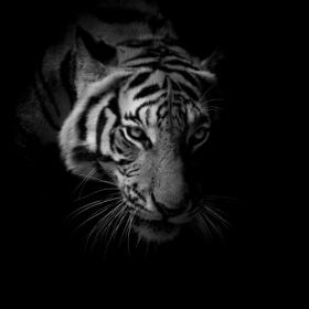 Ảnh chụp mặt hổ màu đen trắng cách ly trên nền đen