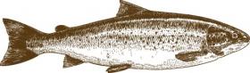 Vector minh họa của cá nước ngọt tách biệt trên nền trắng