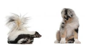 Hình ảnh chó chăn cừu úc 10 tuần tuổi nhìn chồn hôi sọc 5 tuổi trên nền trắng