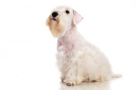 Hình ảnh con chó Sealyham Terrier trên nền trắng